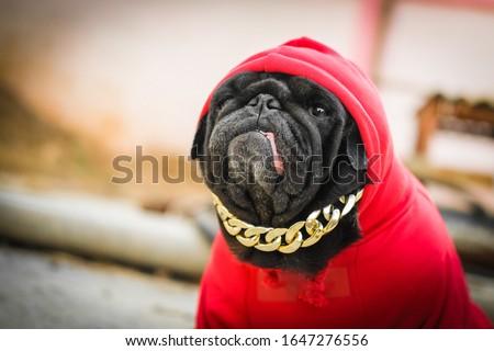 Hip Hop Pug dog.(Funny fcae of pug dog wearing red hood rapper costume.) Stock fotó ©