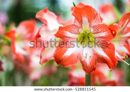 Hippeastrum Amaryllis red flowers on the trees