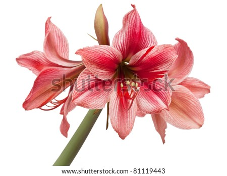 """Hippeastrum """"Gervase"""" isolated on the white backgriund"""