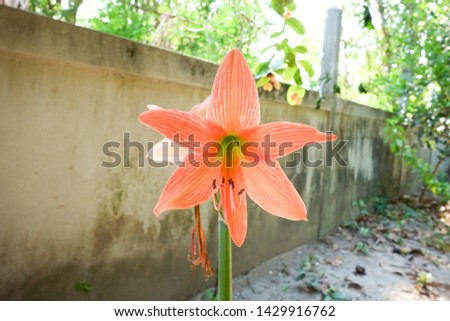Hippeastrum johnsonii Bury is a flowering shrub about 35-60 centimeters tall, with stems of heads or rhizomes underground The part that appears will be the stem and the leaves.  #1429916762
