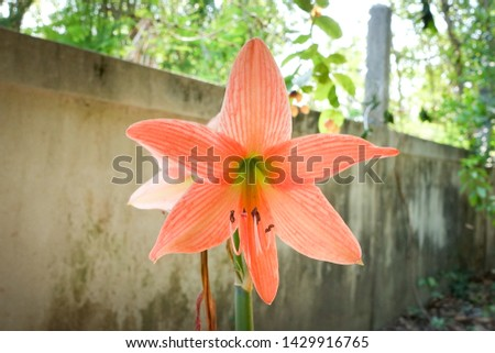 Hippeastrum johnsonii Bury is a flowering shrub about 35-60 centimeters tall, with stems of heads or rhizomes underground The part that appears will be the stem and the leaves.  #1429916765