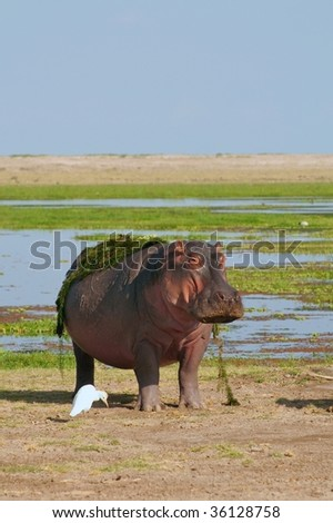 Hippo at the edge of a swamp - stock photo