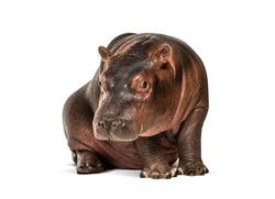 Hippo calf, 3 months old, isolated, Hippopotamus amphibius