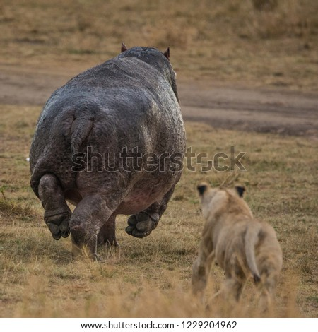 hippo chased by a lioness, Masai, Kenya