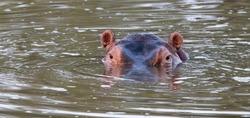 Hippo Eyes, Kruger National Park, South Africa