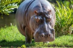 Hippo family (Hippopotamus amphibius) in National park of Kenya, Africa