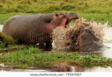 Hippo fight in Kenyan National Park