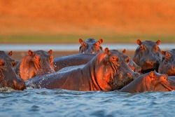 Hippo head in the blue water, African Hippopotamus, Hippopotamus amphibius capensis, with evening sun, animal in the nature water habitat, Mana Pools NP, Zimbabwe, Africa. Wildlife scene from nature.