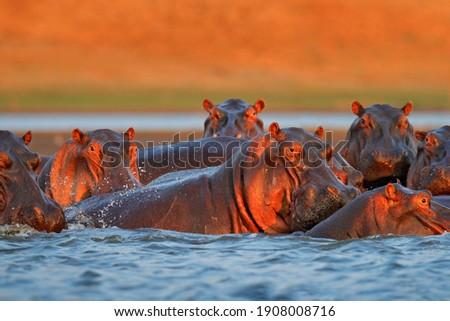 Hippo head in the blue water, African Hippopotamus, Hippopotamus amphibius capensis, with evening sun, animal in the nature water habitat, Mana Pools NP, Zimbabwe, Africa. Wildlife scene from nature. Photo stock ©