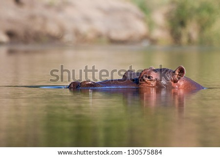 Hippo head in water stick out of river wet