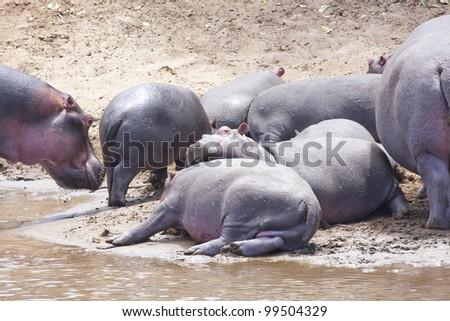 Hippo, Hippopotamus amphibius. Kenya - stock photo
