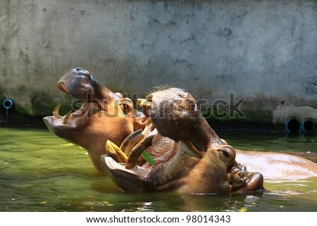 Hippo  Hippopotamus  open its mouth  in pond at a zo
