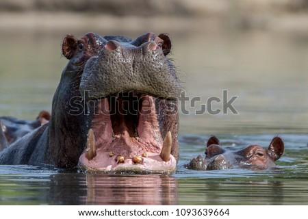 Hippo in a lagoon in the Okavango Delta, Botswana