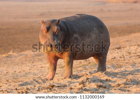 Hippo in beautiful, South Luangwa NP, Zambia
