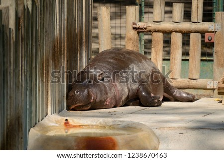 hippo in the zoo #1238670463