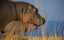 Hippo mother and new born baby in Eastern Cape
