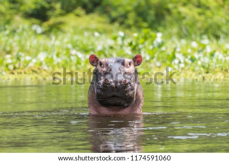 Hippo Nile Africa