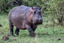 Hippo on the run on land in the Masai Mara National Park in Kenya