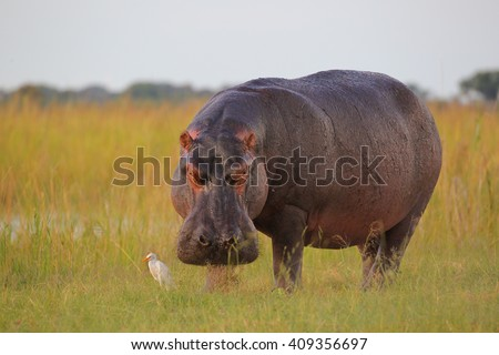 Hippo out the water to eat grass with inquisitive cattle egret, Botswana