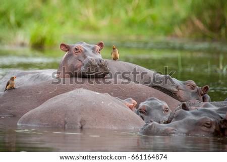 Hippo pod relaxing in the Nile River, Murchison Falls National Park, Uganda