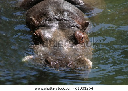 Hippo relaxing in the water