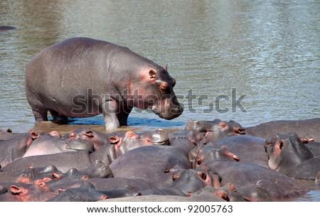 Hippo Serengeti Tanzania Africa
