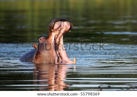 Hippo showing huge jaw and teeth; South Africa