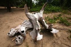 hippo skull in africa