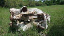 Hippo skull in Moremi Game Reserve, Botswana