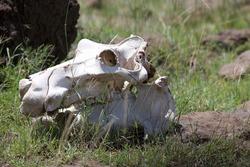 hippo skulls by the water in Kenya