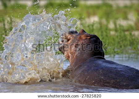 Hippo splashing with head Rufiji River in the Selous Southern Tanzania