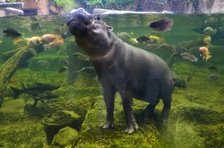 Hippo underwater, pygmy hippopotamus in water with fish  through glass, Khao Kheo open zoo, Thailand
