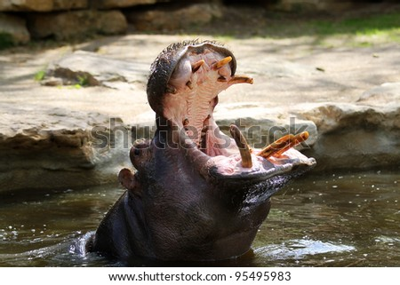 Hippo with open mouth