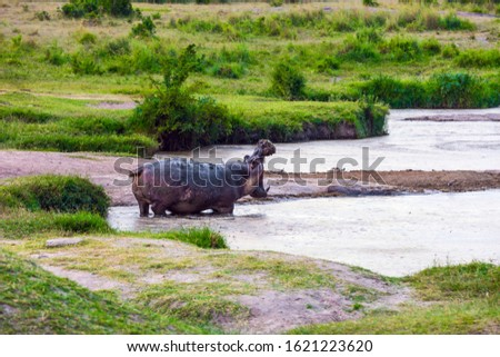 Hippo yawns in water. Africa. Jeep Safari Masai Mara, Kenya. Hippopotamus is one of the largest modern land animals. Concept of exotic, extreme tourism and photo tourism