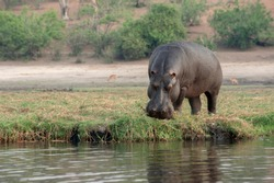Hippopotamus, adult hippo grazing on the river bank of the Chobe River, Botswana.