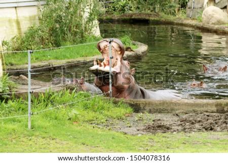 Hippopotamus amphibius, hippo breakfast - apples. Razor sharp canines in the lower mouth. The bontebok (Damaliscus pygargus). Feeding.  #1504078316