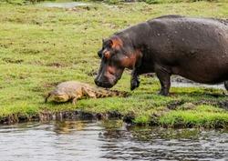 Hippopotamus and crocodile on the Chobe River