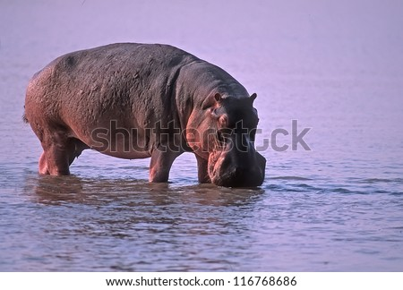 Hippopotamus bull standing in river,Zambia