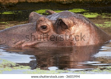 hippopotamus (hippo) in water - head looking out