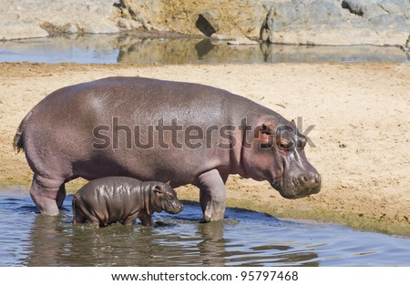Hippopotamus (Hippopotamus amphibius) and its baby at the Hippo pools in Tanzania's Serengeti National Park