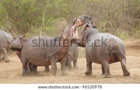 Hippopotamus (Hippopotamus amphibius) fighting in Kruger Park, South Africa