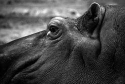Hippopotamus (Hippopotamus amphibius), or hippo, from the ancient Greek for