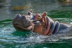 hippopotamus - (Hippopotamus amphibius) or River Horse with head above water, smiling