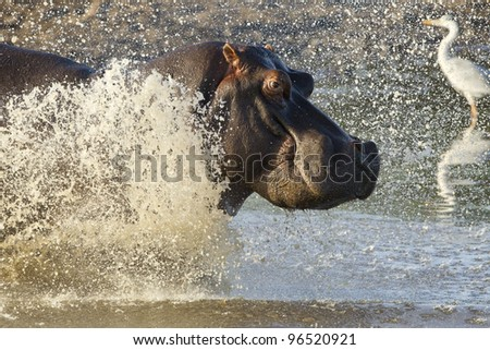 Hippopotamus (Hippopotamus amphibius) running into water, Kruger Park, South Africa - stock photo