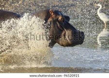 Hippopotamus (Hippopotamus amphibius) running into water, Kruger Park, South Africa