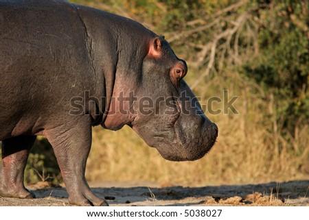Hippopotamus (Hippopotamus amphibius), Sabie-Sand nature reserve, South Africa