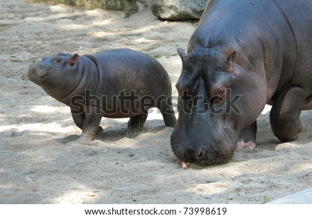 Hippopotamus (Hippopotamus amphibius) with its baby