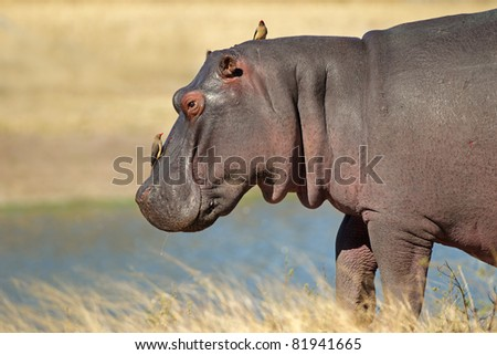 Hippopotamus (Hippopotamus amphibius) with oxpecker birds, Sabie-Sand nature reserve, South Africa