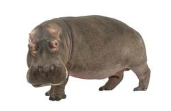 Hippopotamus - Hippopotamus amphibius ( 30 years) in front of a white background
