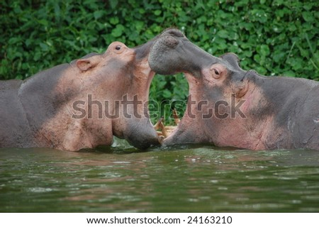 Hippopotamus in fight